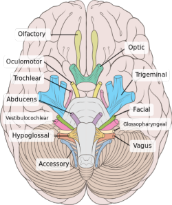 File:Brain human normal inferior view with labels en-2.svg